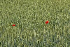 two poppy flowers in wheat field - stock photo