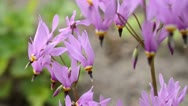 Stock Video Footage of American cowslip (Dodecatheon meadia)