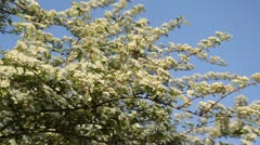 Many-flowered cotoneaster (Cotoneaster multiflorus) Stock Footage