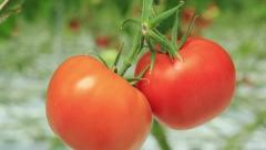 tomatoes in the greenhouse - stock footage