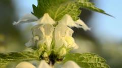 White dead nettle (Lamium album) Stock Footage
