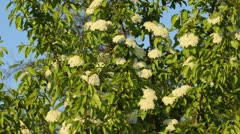 Black haw (Viburnum prunifolium) - stock footage