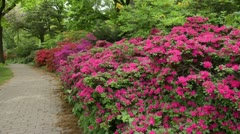 Rhododendrons (Rhododendron) - stock footage