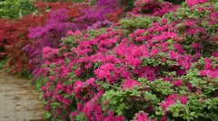Rhododendrons (Rhododendron) Stock Footage