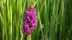 Broad-leaved marsh orchid (Dactylorhiza majalis) Stock Footage