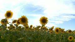 Sunflowers field panoramic movement Stock Footage