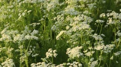 Stock Video Footage of Caraway (Carum carvi)