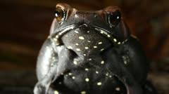 Spotted Toad (Rhaebo guttatus) Stock Footage