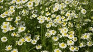 Stock Video Footage of Chanomile (Matricaria recutita syn. Matricaria chamomilla)