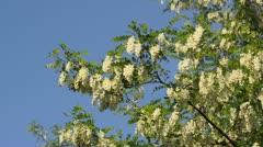 Black locust (Robinia pseudoacacia) Stock Footage