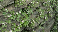 Ivy-leaved toadflax (Cymbalaria muralis) Stock Footage