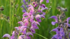 Meadow clary (Salvia pratensis) Stock Footage