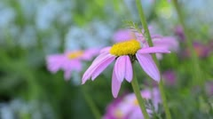 Stock Video Footage of Painted daisy (Tanacetum coccineum 'Robinsons Rosa')