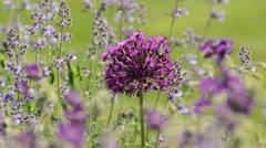 Ornamental allium (Allium) and catmint (Nepeta) - stock footage