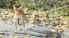 Chihuahua doggy stand on leash at ground with leaves Stock Footage