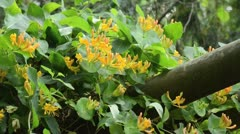 Honeysuckle (Lonicera) Stock Footage
