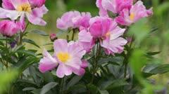 Peony (Paeonia lactiflora 'Thoma') Stock Footage