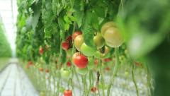 Tomatoes in the greenhouse Stock Footage