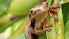 Suriname Golden-eyed Treefrog (Trachycephalus coriaceus) Stock Footage