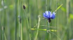 Cornflower (Centaurea cyanus) Stock Footage