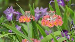 Candelabra primrose (Primula x bullesiana) Stock Footage