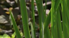 Flag iris (Iris pseudacorus) Stock Footage