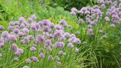 Chives (Allium schoenoprasum) - stock footage