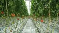 Stock Video Footage of tomatoes in the greenhouse