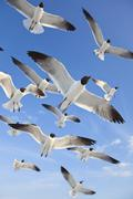 common black-headed sea gulls flying in blue sky - stock photo