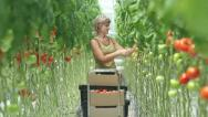 Stock Video Footage of harvesting of tomatoes