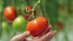 Harvesting Of Tomatoes Stock Footage