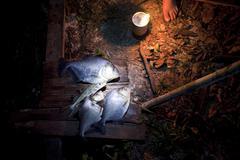 piranha dinner - rio amapari, amapá, brazil - stock photo