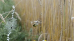 Wasp spider catch prey fly envelop wrap web. argiope bruennichi Stock Footage