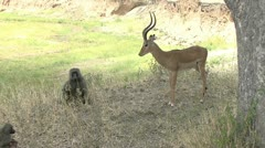 IMPALA AND BABOON INTERACT - stock footage
