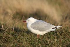 New zealand seagull Stock Photos