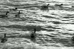 Ducks Floating By Stock Footage