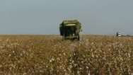 Cotton picking 5 Stock Footage