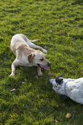 Labrador retriever  and dalmatian bonding on a park Stock Photos