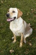 Labrador retriever dog in autumn sitting on grass Stock Photos