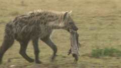 A hyena carrying a skin of an animal Stock Footage