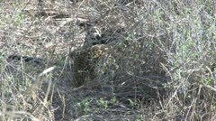 A leopard hides in the grass to eat a baby worthog Stock Footage