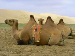 Mongolian Camels in the gobi desert - stock photo