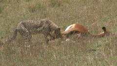 Baby cheetah feeding on a pregnant big impala Stock Footage