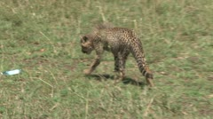 Baby cheetahs play with a mineral water bottle in the park Stock Footage