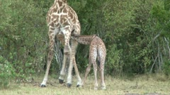 Baby giraffe is refused milk by mother Stock Footage