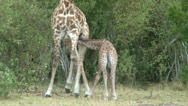 Stock Video Footage of baby giraffe is refused milk by mother