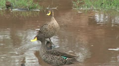 Yellow billed ducks in a pond Stock Footage
