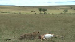 Cheetah eats with elephants in the back ground Stock Footage