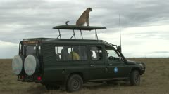 Cheetah on the roof of a vehicle in the park Stock Footage