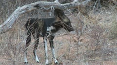 Close up of a group of wild dogs Stock Footage